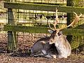 Flickr - Laenulfean - deer.jpg