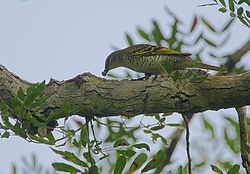 Flickr - Rainbirder - Black Cuckoo-Shrike (Campephaga flava) female.jpg
