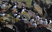 Flickr - Rainbirder - Puffin gang.jpg