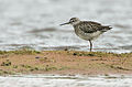 Flickr - Rainbirder - Wood Sandpiper (Tringa glareola).jpg