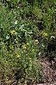 Flora della Sardegna 163 (1).JPG