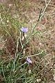 Flora della Sardegna 250 (01).jpg