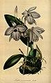 Flore des serres et des jardins de l'Europe - vol. 01 - page 051.jpg