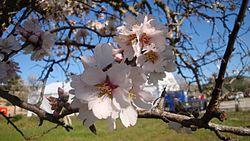 Sakura (cerezo) - Wikipedia, la enciclopedia libre