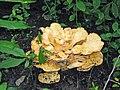 Flower Fungus (3714906471).jpg