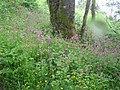 Flowers in a wet wood above the lake - May 2011 - panoramio.jpg