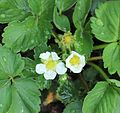 Flowers of Fragaria × ananassa.JPG