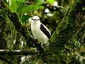Fluvicola pica (Viudita común) (14252294815).jpg