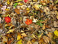 Forest-floor-leaves - West Virginia - ForestWander.jpg