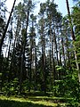 Forest Scene along Lake Ring Trail - Byelovezhskaya Puscha State National Park - Near Kamenyets - Brest Oblast - Belarus - 01 (27387790451).jpg