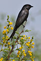 Fork-tailed Drongo, Dicrurus adsimilis, at Pilanesberg National Park, South Africa (16048368102).jpg