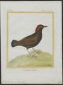 Formicarius cayanensis - 1700-1880 - Print - Iconographia Zoologica - Special Collections University of Amsterdam - UBA01 IZ16400311.tif