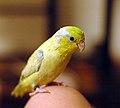 Forpus coelestis -yellow mutation -pet-8c.jpg