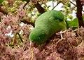 Forpus conspicillatus (Perico de anteojos) - Flickr - Alejandro Bayer (1).jpg