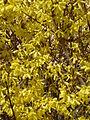 Forsythie (Oleaceae) 2.JPG