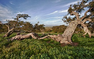 Fort Ord - Old Coast Live Oak at Fort Ord