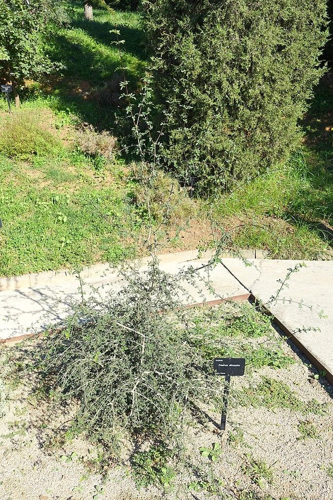 File fraxinus dimorpha jard n bot nico de barcelona for Barcelona jardin