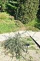 Fraxinus dimorpha - Jardín Botánico de Barcelona - Barcelona, Spain - DSC09198.JPG