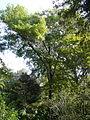 Freixe americà de l'antic jardí botànic P1250807.jpg