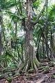 Fromager au milieu des cocotiers sur l'île de Rolas (São Tomé).jpg