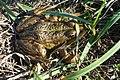 Frosch im unteren Odertal.JPG