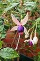 Fuchsia 'Chillerton Beauty' kz1.jpg