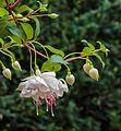 Fuchsia 'Frank Unsworth'.jpg
