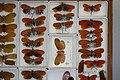 Fulgoridae Drawers - 5036697120.jpg