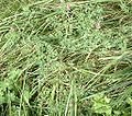 Fumaria officinalis-plant.jpg