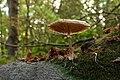 Fungus, Clandeboye Wood (19) - geograph.org.uk - 1523808.jpg