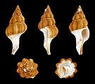 Fusolatirus paetelianus 01.JPG