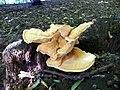 GOC Bengeo to Woodhall Park 065 Chicken of the Woods (Laetiporus sulphureus) (8103097169).jpg