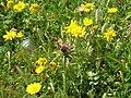 Garland chrysanthemum and Mediterranean Milk Thistle.jpg