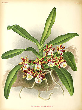 Gastrochilus bellinus Illustration.jpg