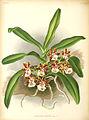 Gastrochilus bellinus Illustration.jpg