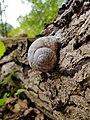 Gastropoda - Schnecke - Große Weinbergschnecke - Snail - Sascha Grosser.jpg