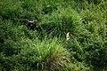 Gaur, Bos gaurus near Khao Yai national park (23944034231).jpg