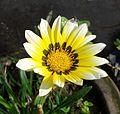 Gazania Rigens Yellow White (2).jpg