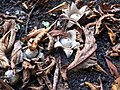 Geastrum fimbriatum 20050923 559.jpg