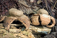 "Two light gray-brown flattened sacs with pointy ""beaks"" on top. The sacs are resting on thick, rough-surfaced fleshy rays that curl downwards and raise the sac above the ground. On the ground are pieces of decaying wood, twigs and leaves."