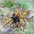 Gemeine Esche (Fraxinus excelsior) (1).jpg