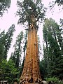 General Sherman Sequoia - World Largest Tree by Volume - panoramio.jpg