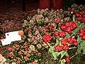 Genova-Euroflora 2006-Tulipani e skimmia reevesiana-DSCF6414.JPG