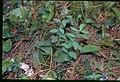 Geocaulon lividum 6-eheep (5097887660).jpg