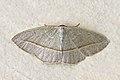 Geometrid moth (Leuculopsis unifasciata).jpg