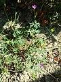 Geranium columbinum sl5.jpg