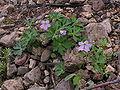 Geranium maculatum plant 001.JPG