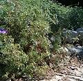 Geranium multisectum KirstenboschBotGard09292010B.jpg