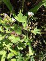 Geranium rotundifolium sl22.jpg