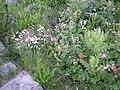Geum coccineum Silene vulgaris Geranium at Popovo 1.jpg